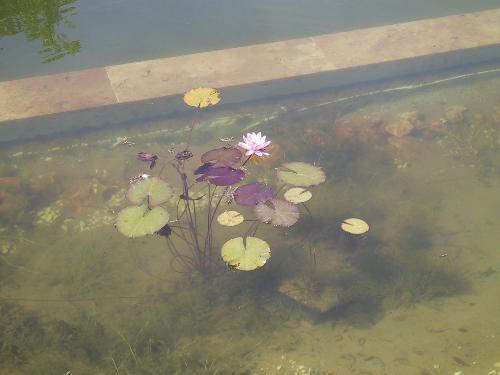 33 Befüllter Teich mit Seerosen